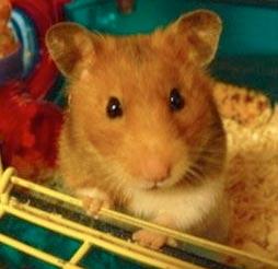 beans-the-hamster
