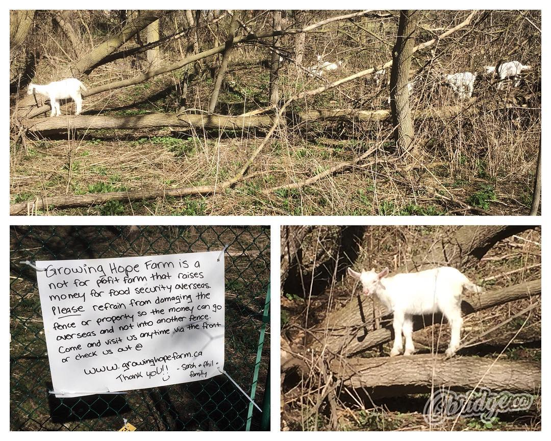 Found some Preston Woodland Goats while walking the Linear Trail yesterday