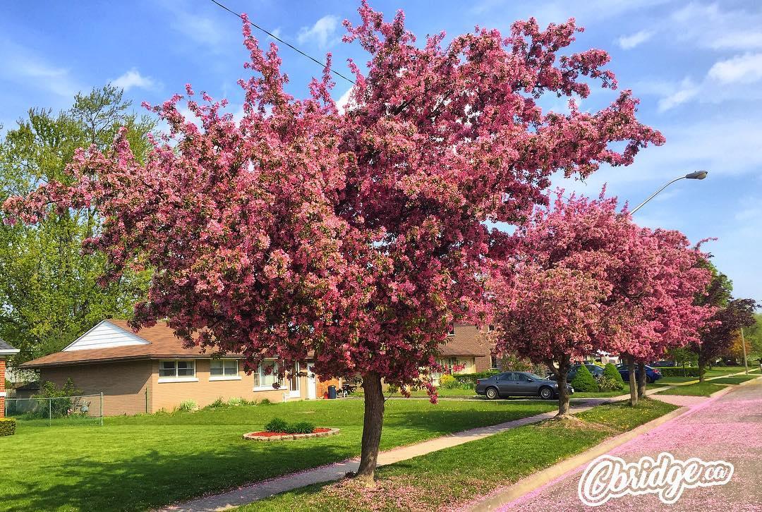 Lilac trees in bloom in Preston