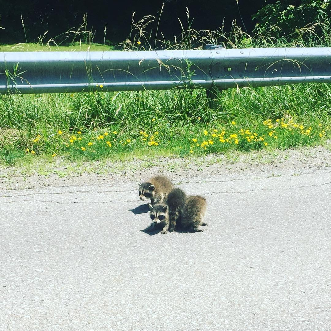 4 little raccoons crossing Beaverdale Road. Hope they made it where they needed to go safely. #mycbridge